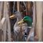 Hawk Glen Ducks - Wildlife