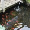 Tuin - Vijver lek 31-01-17 3 - In de tuin 2017