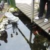 Tuin - Vis uit de vijver 01... - In de tuin 2017