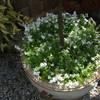 Tuin 29-04-17 6 - In de tuin 2017