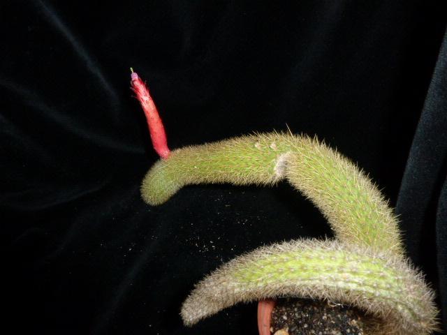P1020319 cactus