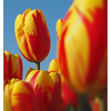 Eye Tulips - Netherlands