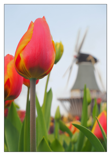 Keukenhof 2 Netherlands