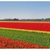 Keukenhof Panorama 1b - Benelux Panoramas
