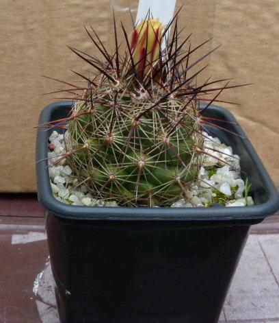 P1020472 cactus