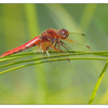 Dragonfly Little River 2017 1 - Close-Up Photography