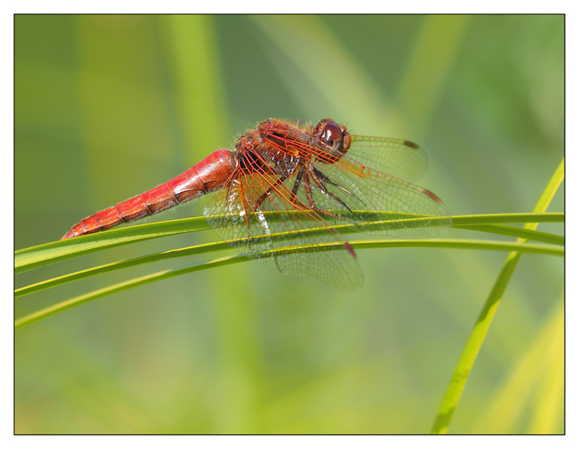 Dragonfly Little River 2017 1 Close-Up Photography
