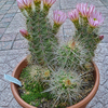 Echinocereusrosei2 - Succulenten 2017
