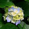 Hydrangeas - http://www.xaddition