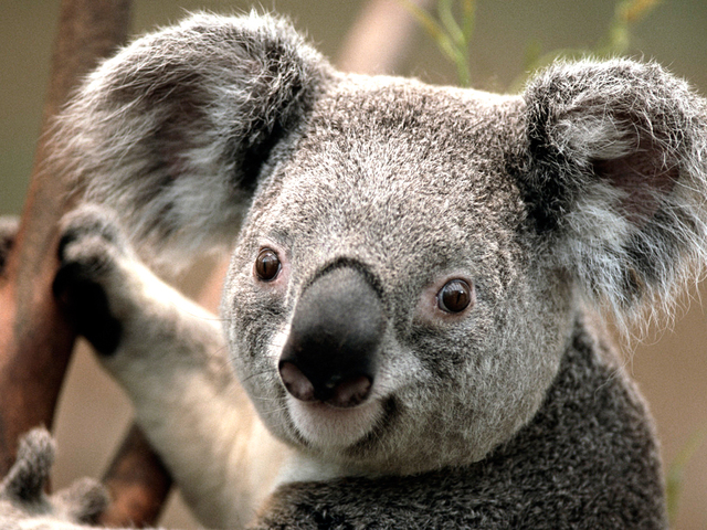 Koala Picture Box