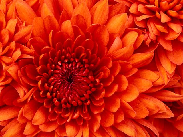 Chrysanthemum Picture Box
