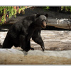 big bear - Wildlife