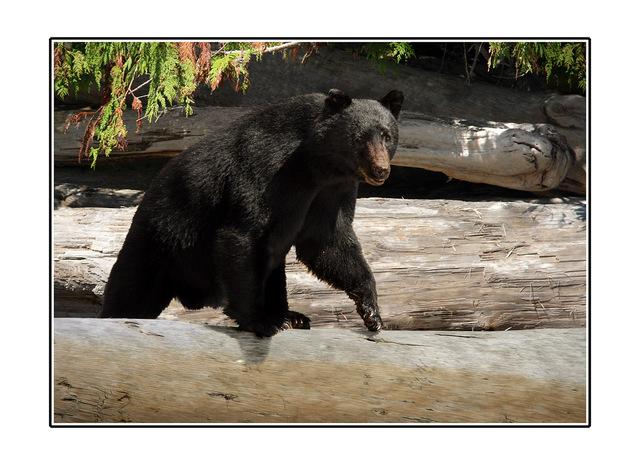 big bear Wildlife