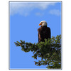 EAGLE blue sky - Wildlife