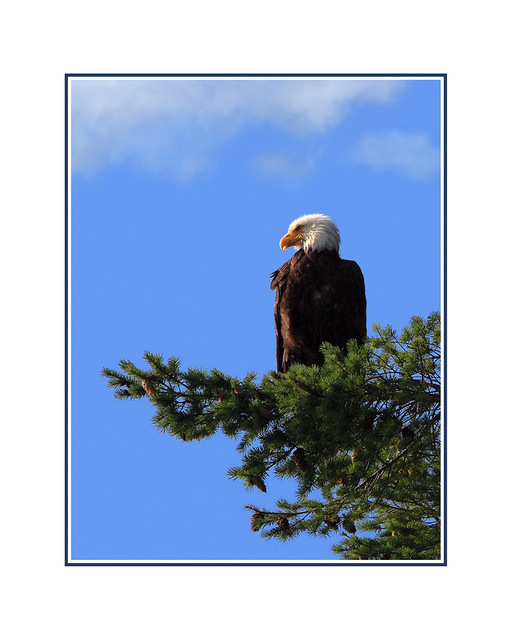 EAGLE blue sky Wildlife
