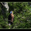 EAGLE in Trees - Wildlife