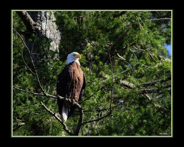 EAGLE in Trees - Wildlife