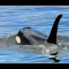 Orca blue - Wildlife