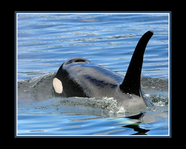 Orca blue Wildlife