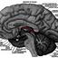 Epithalamus - CervelloReview