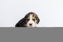 beagle pups levinda 3 week ... - Anonymous