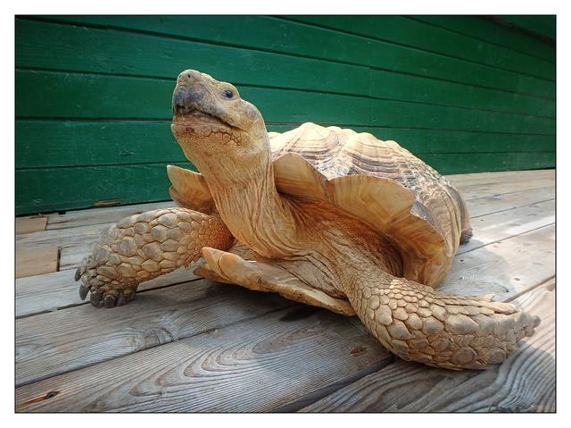 Samson the Tortoise Vancouver Island