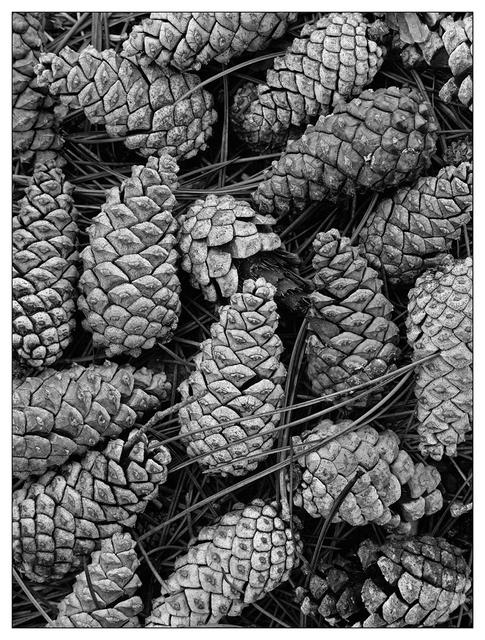 Pine Cones 2018 2 Black & White and Sepia