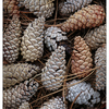 Pine Cones 2018 1 - Close-Up Photography