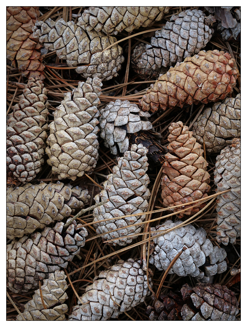 Pine Cones 2018 1 Close-Up Photography