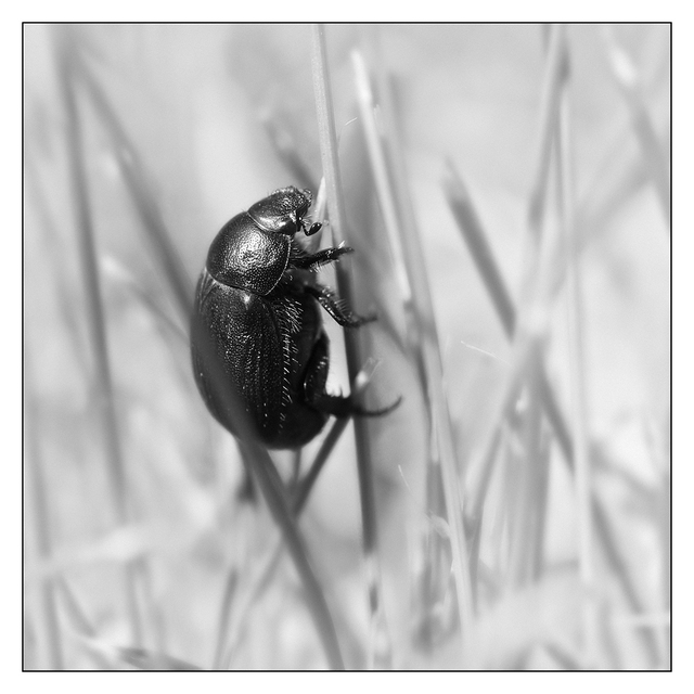 Beetle 2018 1 Black & White and Sepia