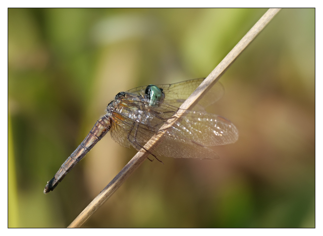Little River 2018 Dragonfly Close-Up Photography