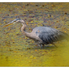 Little River 2018 Heron - Wildlife