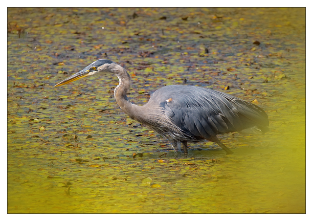 Little River 2018 Heron Wildlife