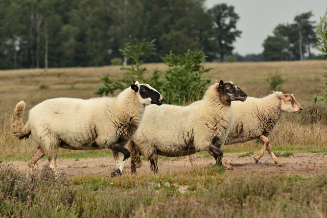schapen1 balingehofforum