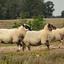 schapen1 - balingehofforum