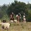 schapen2 - balingehofforum
