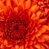 Chrysanthemum - http://www.gethealthyfreedom