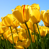 Tulips - http://www.high5supplements