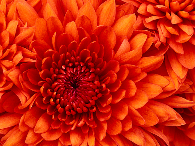 Chrysanthemum http://www.high5supplements.com/keto-buzz/