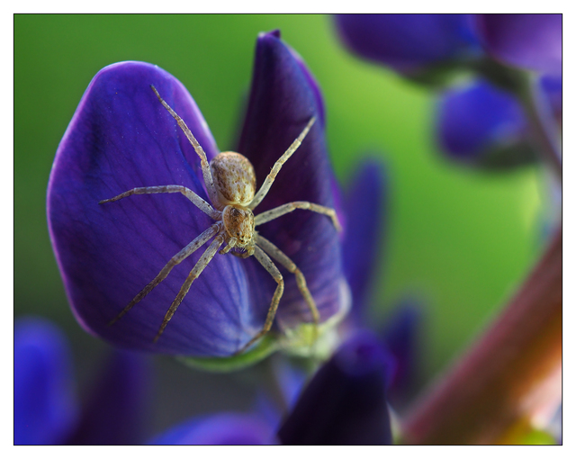 Lupin Spider 2019 b Close-Up Photography