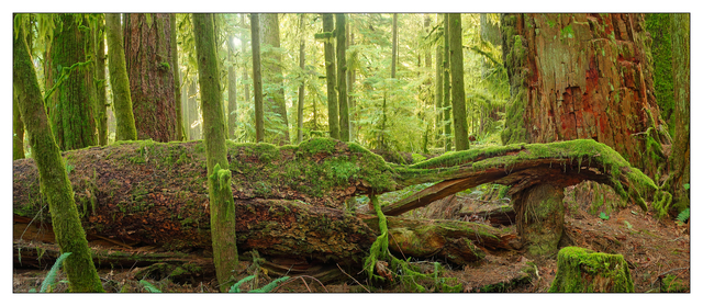 Cathedral Grove 2019 5 Panorama Images