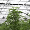 Indoor Cannabis Growhouse - Picture Box