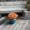 Bolchrysant 02-10-19 - In de tuin 2019