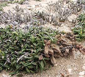 dregeochloapum4 - cactus