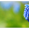 Grape Hyacinth 2020 pano1 - Panorama Images