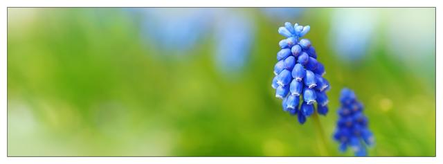 Grape Hyacinth 2020 pano1 Panorama Images