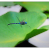 Little River Dragonfly 2020 3 - Close-Up Photography