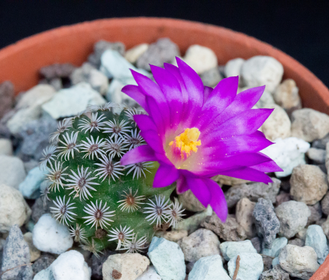 Mammillaria  2020