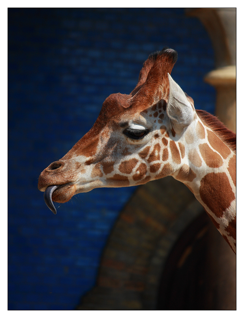 - Berlin Zoo Giraffe 1 Germany