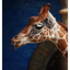 - Berlin Zoo Giraffe 1 - Germany